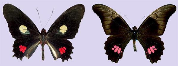 evolucao mimetismo borboletas