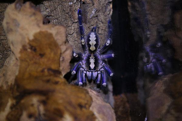 poecilotheria metallica