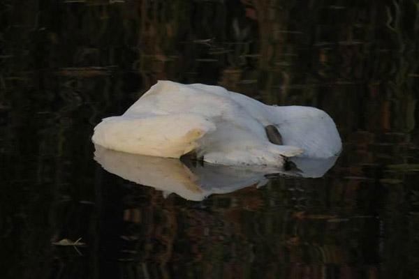 cisne morto