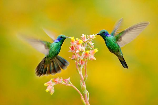 colibri-flores
