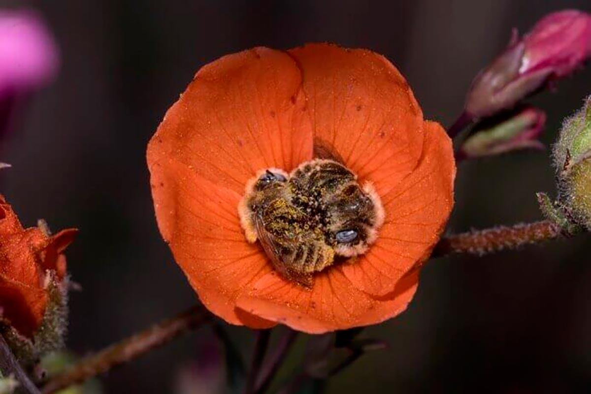 abelhas-conchinha