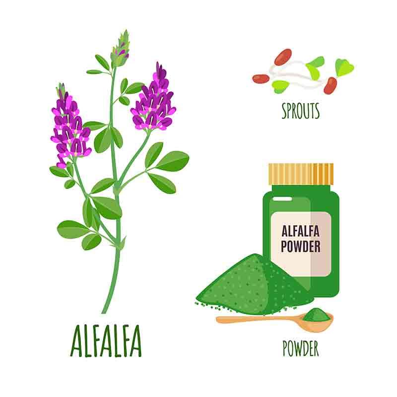 alfafa usos