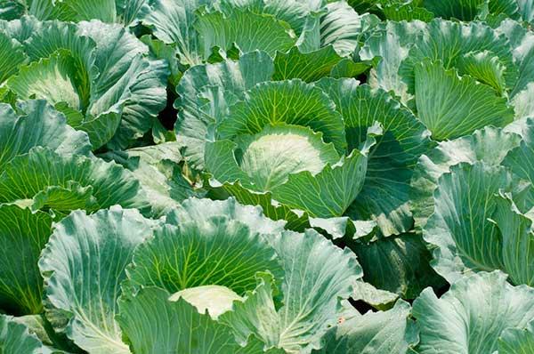 brassica oleracea var capitata 2