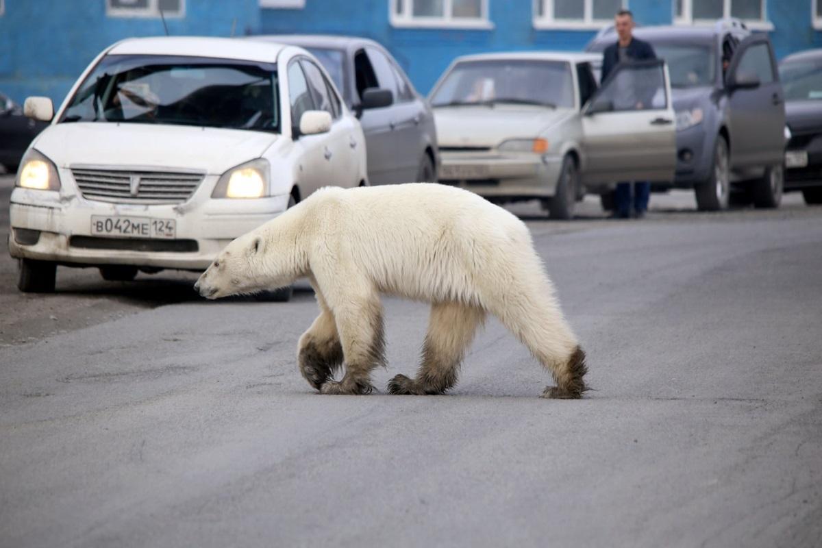 Urso polar na Sibéria