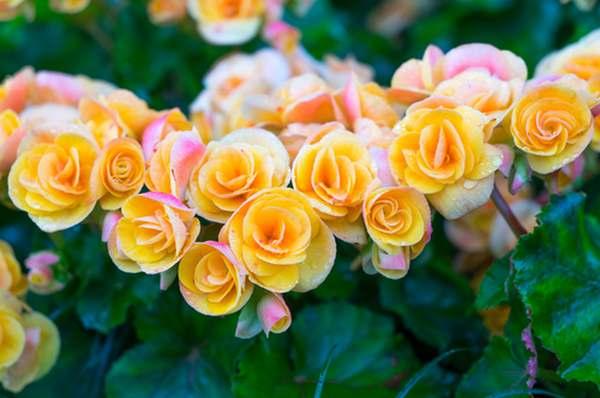 begonia 3