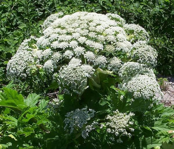 heracleum mantegazzianum 2