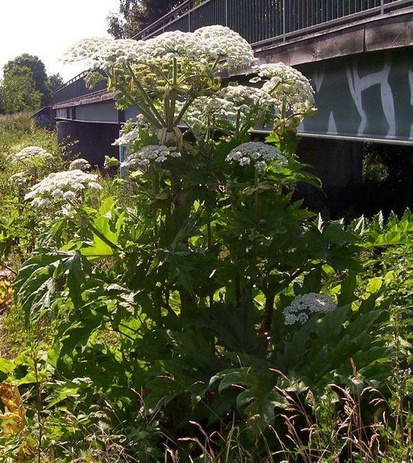 heracleum mantegazzianum 3