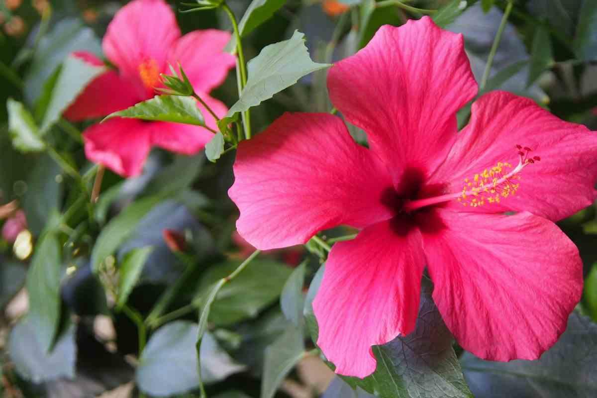 ibisco flor