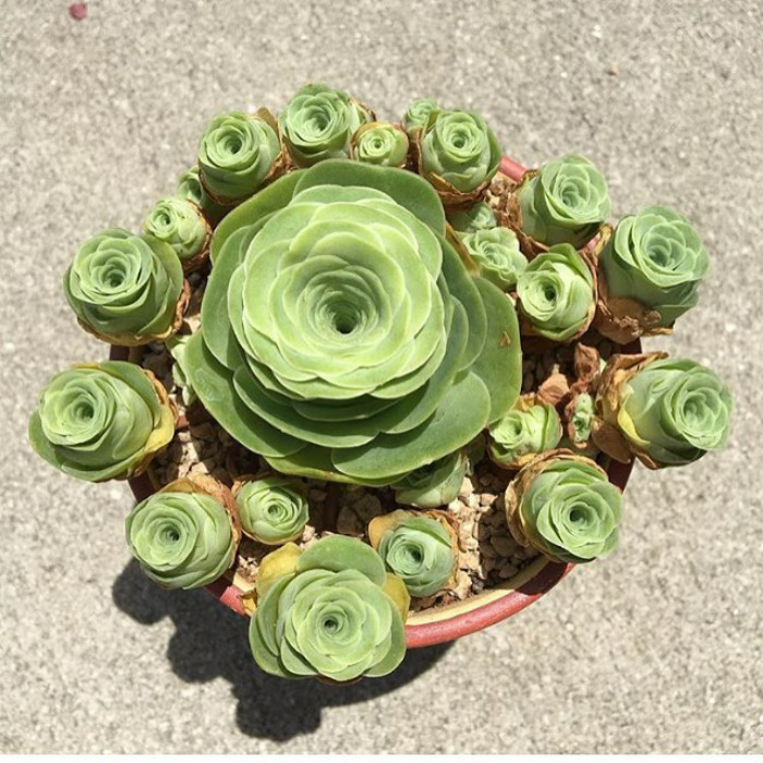 suculentas rosas verde