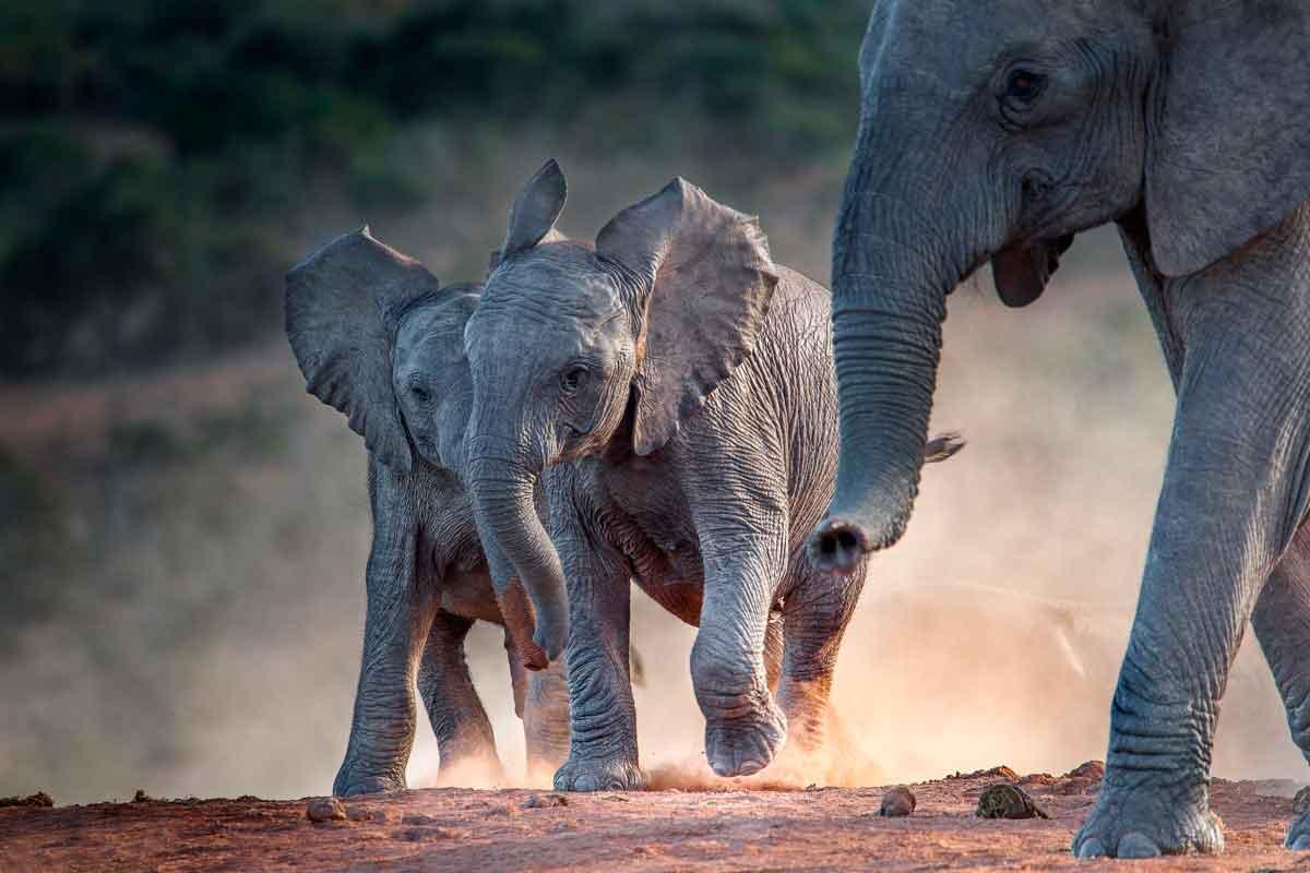 bebês elefante