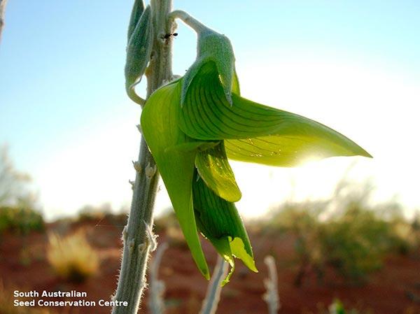 crotalaria cunninghamii ssp