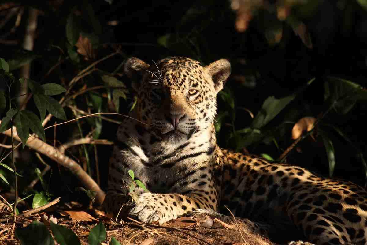 desmatamento chaco jaguar
