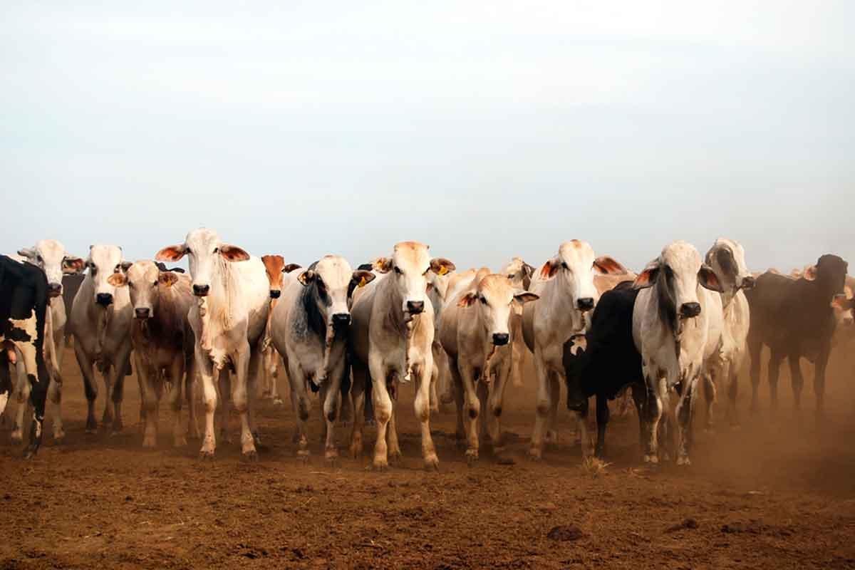 gado Brasil