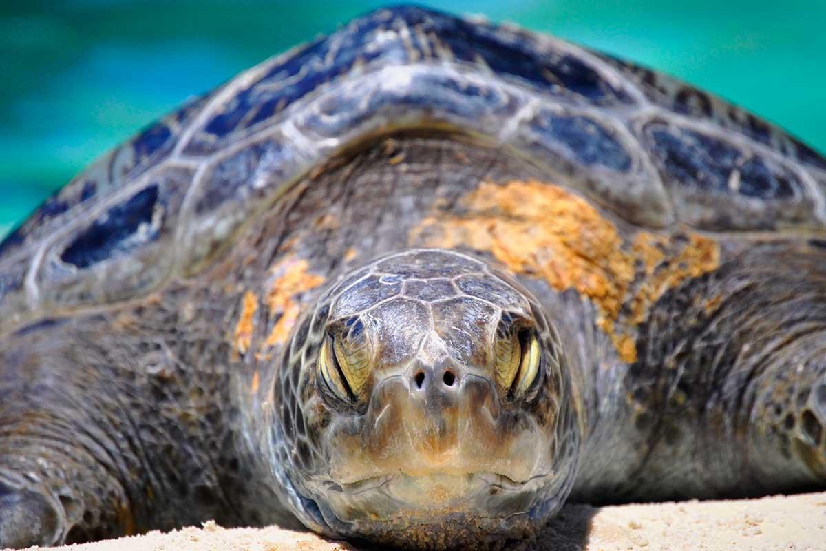 Tartaruga-marinha