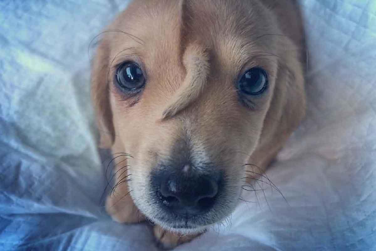 Unicórnio cão