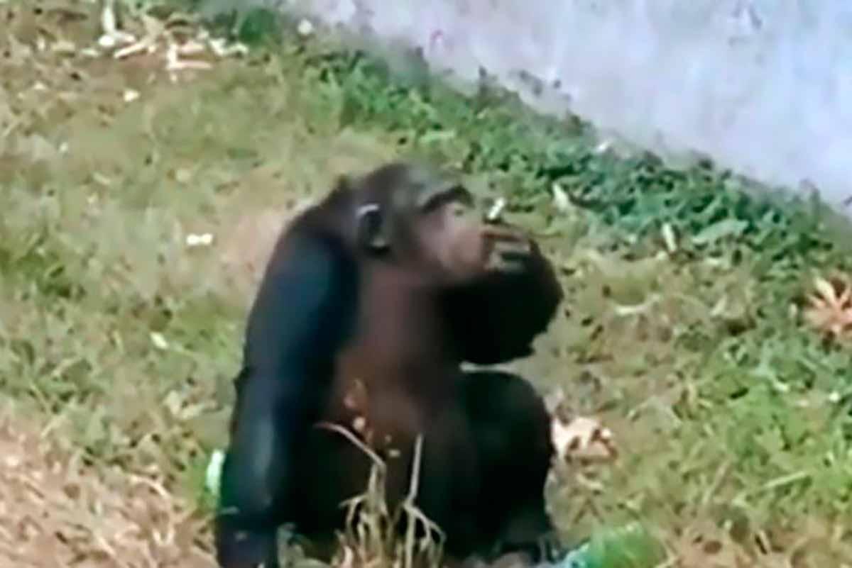 chimpanzé fumando
