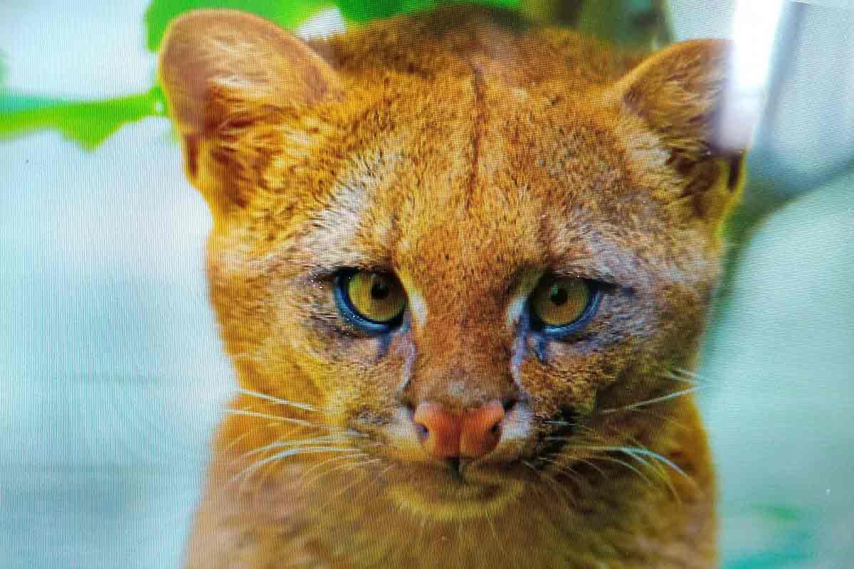 gato-puma