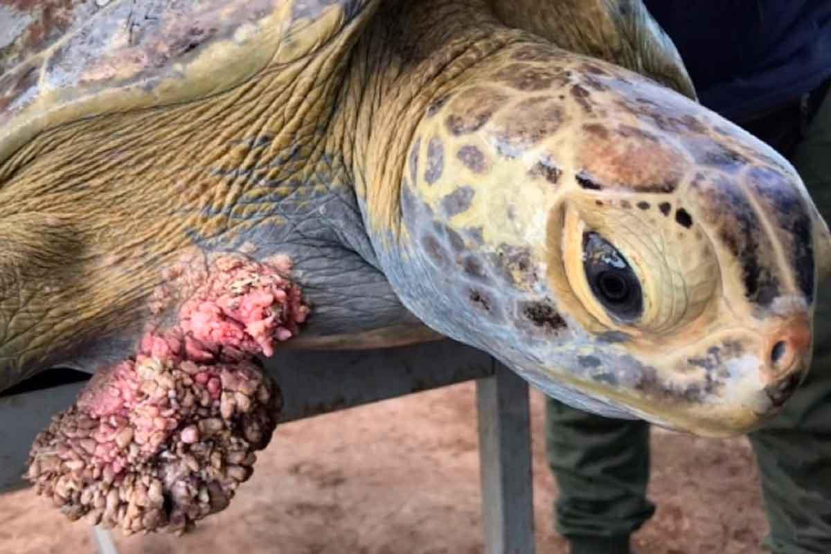 tartaruga com tumores