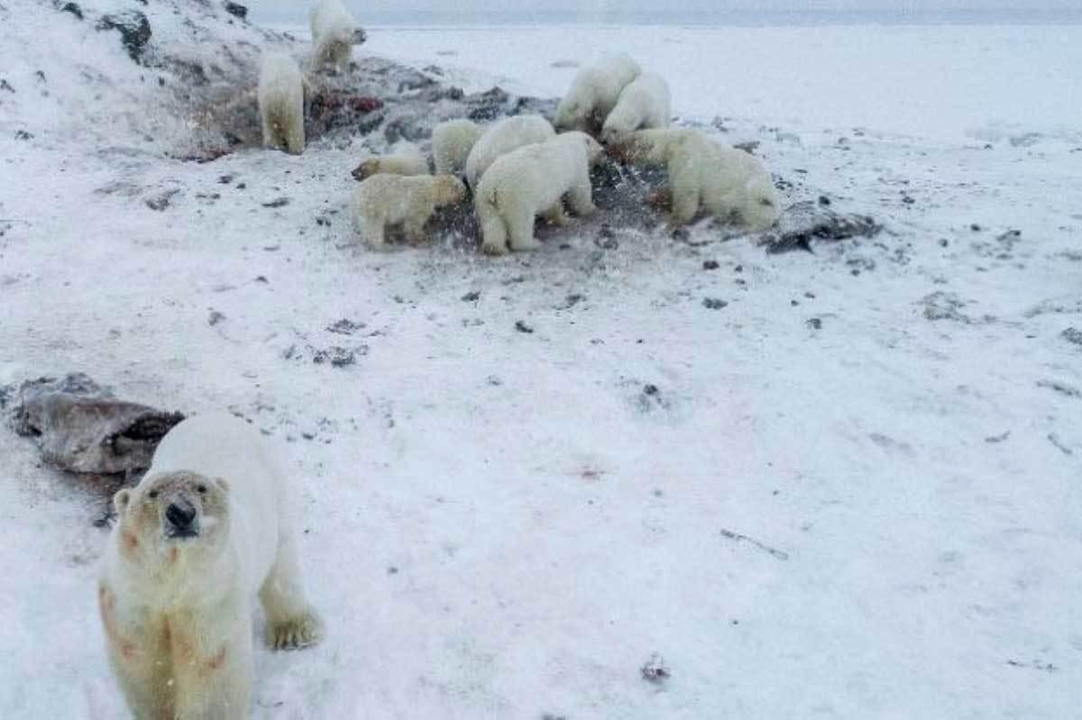 urso-polar-faminto