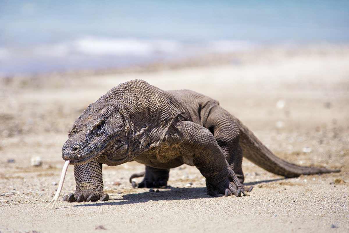 Dragão-de-Komodo na lista vermelha da extinção por causa do aquecimento global