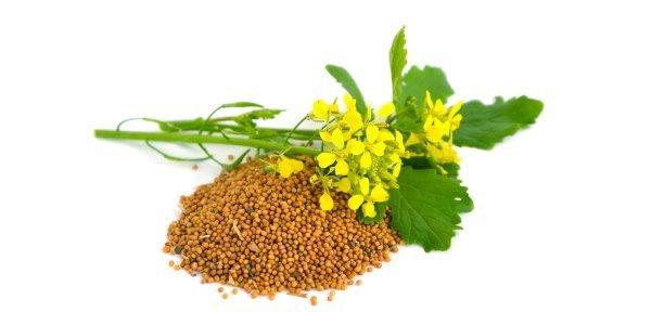 Sementes de mostarda: todos os benefícios para a SAÚDE - greenMe