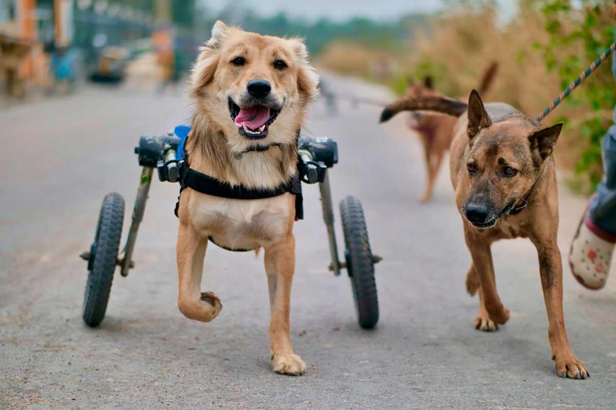 Neste abrigo, cães paraplégicos voltam a andar, e correm! Veja o vídeo