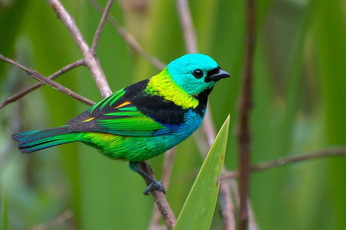 Saíra-Sete-Cores: exuberância de canto e cores, tem gente querendo aprisionar