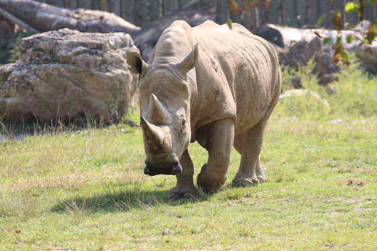©Toby, rinoceronte bianco al Parco Natura Viva/Gardapost.it
